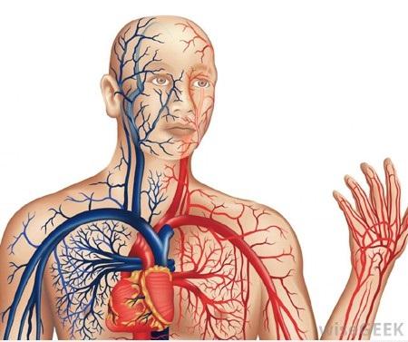 Video giải phẫu và sinh lý hệ tuần hoàn