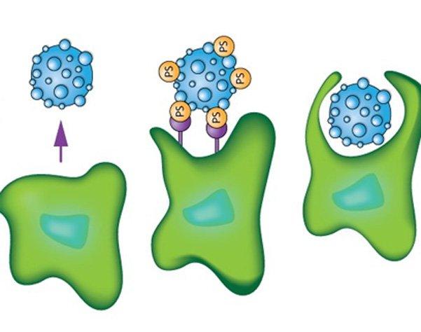 Hệ miễn dịch giúp chống lại ung thư
