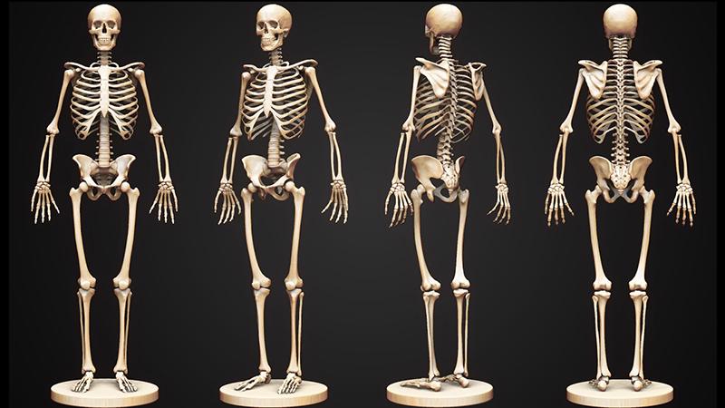 Bộ xương người gồm 206 chiếc xương được nối với nhau bởi các mô sụn